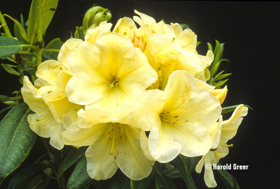 Rhododendron 'Karen Triplett' | Rhododendrons (Hybrids & species)