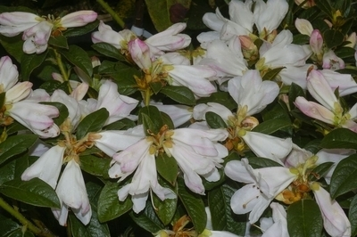 Rhododendron 'McNabii'   Rhododendrons (Hybrids & species)