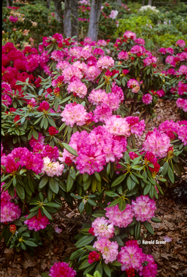 Rhododendron 'Noyo Brave'   Rhododendrons (Hybrids & species)