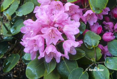 Rhododendron orbiculare | Rhododendrons (Hybrids & species)