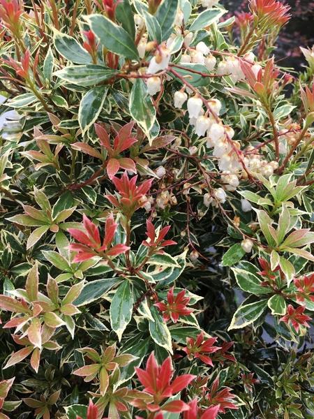 Pieris japonica 'Little Heath' | Deciduous & Evergreen Shrubs