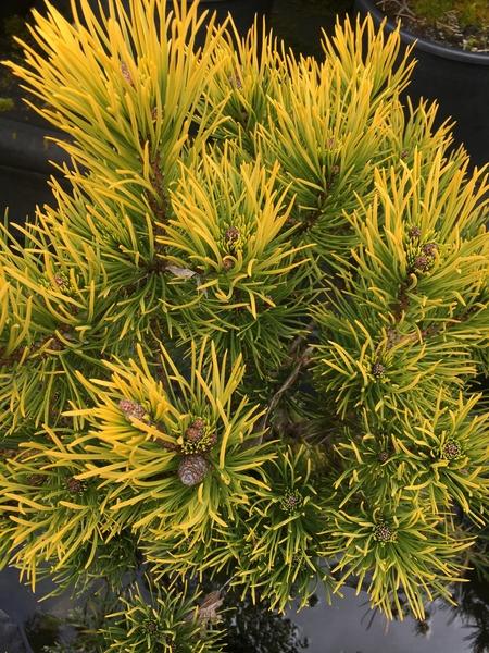 Pinus mugo 'Carstens' | Conifers