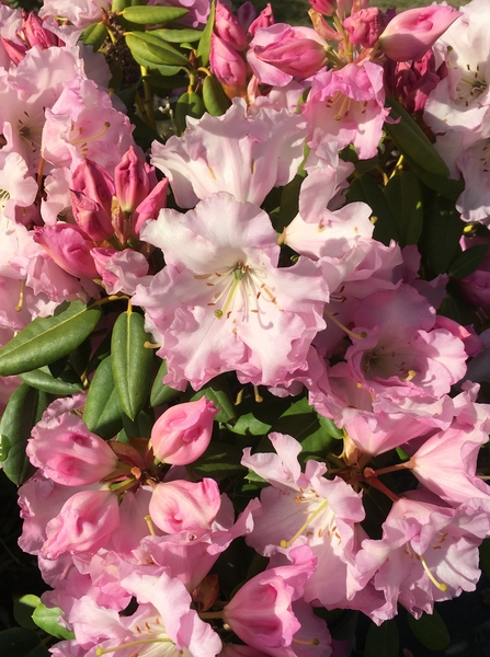 Rhododendron 'Compacta' | Rhododendrons (Hybrids & species)