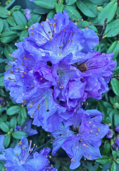 Rhododendron 'Crater Lake' | Rhododendrons (Hybrids & species)