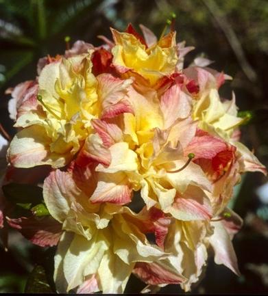 Azalea 'Cannon's Double' | Deciduous Azaleas