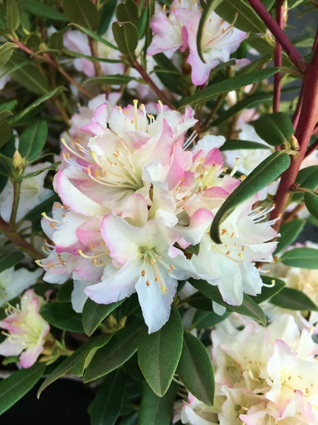 Rhododendron 'Mary Fleming' | Rhododendrons (Hybrids & species)