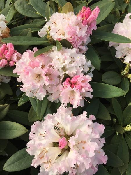 Rhododendron 'Rosamundi'   Rhododendrons (Hybrids & species)
