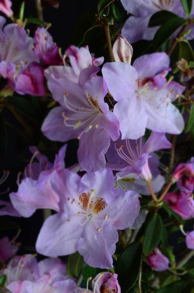 Rhododendron 'Star Trek' | Rhododendrons (Hybrids & species)