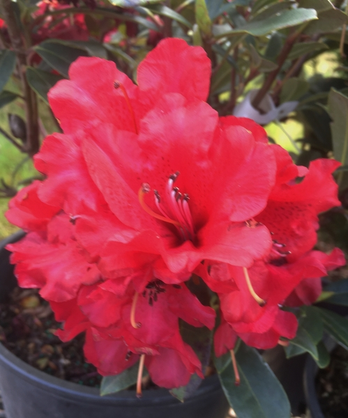 Rhododendron 'Blitz' | Rhododendrons (Hybrids & species)