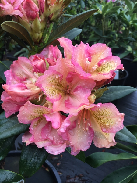 Rhododendron 'Circus' | Rhododendrons (Hybrids & species)