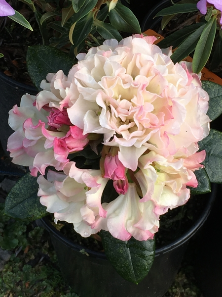 Rhododendron 'Opal Luster'   Rhododendrons (Hybrids & species)