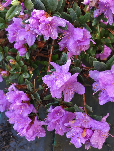 Rhododendron 'Purple Gem' | Rhododendrons (Hybrids & species)