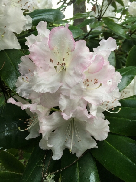 Rhododendron 'Beauty of Littleworth'   Rhododendrons (Hybrids & species)