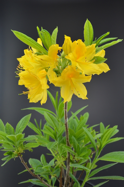 Rhododendron luteum | Rhododendrons (Hybrids & species)