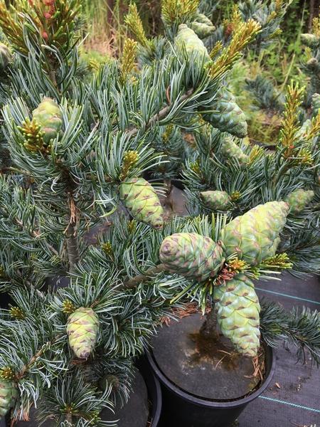 Pinus parviflora 'Koru' | Conifers