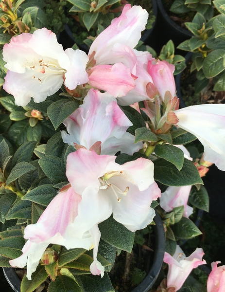 Rhododendron 'Suave'   Rhododendrons (Hybrids & species)