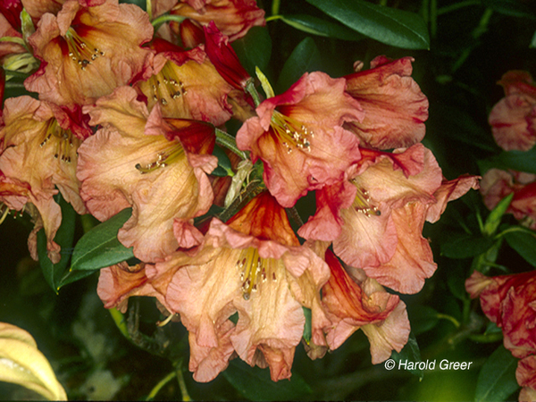Rhododendron 'Apricot Nector' | Rhododendrons (Hybrids & species)