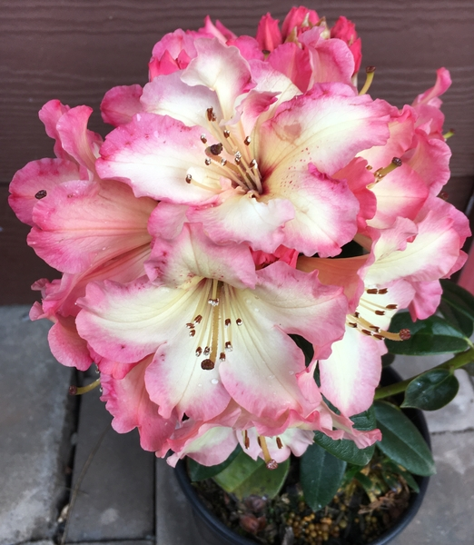 Rhododendron 'Butterscotch Brandy' | Rhododendrons (Hybrids & species)