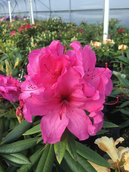 Rhododendron 'Creole Bell' | Rhododendrons (Hybrids & species)