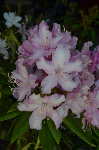 Rhododendron 'Mrs. E.C. Stirling'   Rhododendrons (Hybrids & species)