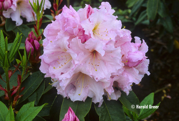 Rhododendron 'Van Ness Sensation' | Rhododendrons (Hybrids & species)