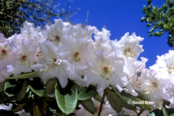 Rhododendron 'Winter Snow' | Rhododendrons (Hybrids & species)