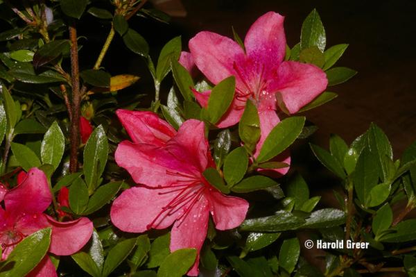 Azalea 'Gumpo Red' | Evergreen Azaleas