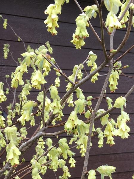 Corylopsis spicata | Deciduous & Evergreen Shrubs