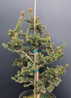 Picea abies 'Hillside Upright' | Conifers