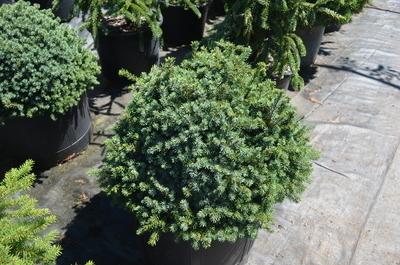Picea mariana 'Golf Ball' | Conifers