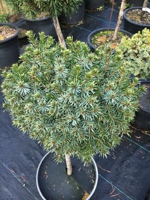 Picea omorika 'Elizabeth' | Standards