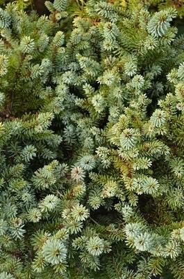 Picea omorika 'Kamenz' | Standards