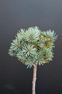 Picea pungens 'Brynek' | Standards