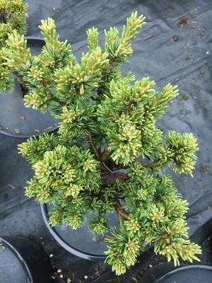 Pinus banksiana 'Chippewa' | Conifers