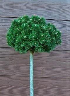 Pinus mugo (1040 Broom) | Standards