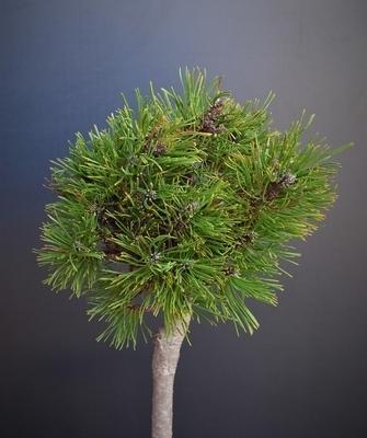 Pinus mugo 'Varella' (Standard)   Standards