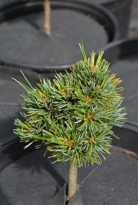 Pinus parviflora 'Catherine Elizabeth' | Standards