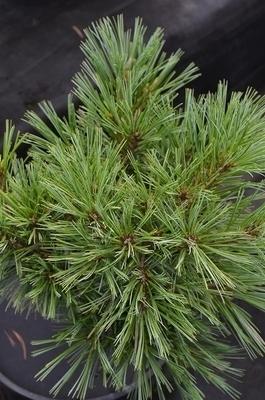 Pinus strobus 'Blue Shag' | Conifers