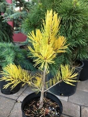 Pinus sylvestris 'Gold Coin'   Conifers