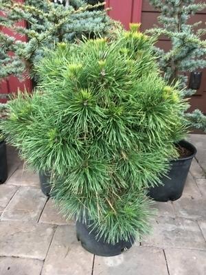 Pinus sylvestris 'Moseri' | Conifers
