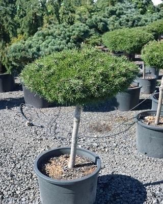 Pinus uncinata 'Paradekissen' | Standards
