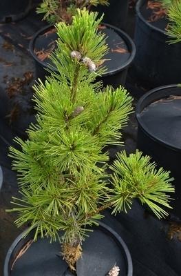 Pinus x schwerinii 'Weithorst' | Conifers
