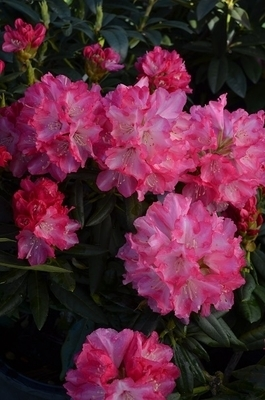 Rhododendron 'Barmstedt' | Rhododendrons (Hybrids & species)