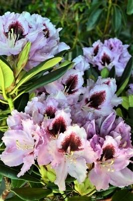 Rhododendron 'Kabarett' | Rhododendrons (Hybrids & species)