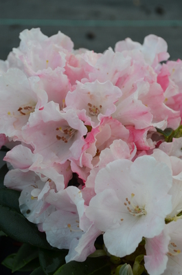 Rhododendron 'Mardi Gras' | Rhododendrons (Hybrids & species)