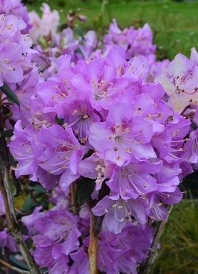 Rhododendron oreotrephes | Rhododendrons (Hybrids & species)