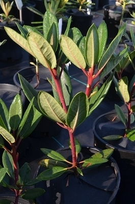 Rhododendron 'Red Wood' | Rhododendrons (Hybrids & species)