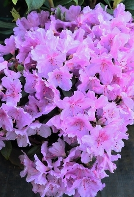 Rhododendron 'Wigeon' | Rhododendrons (Hybrids & species)