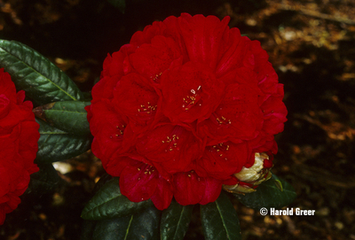 Rhododendron 'Rubicon' | Rhododendrons (Hybrids & species)