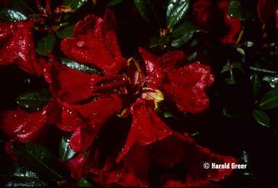Rhododendron 'Ruby Hart' | Rhododendrons (Hybrids & species)